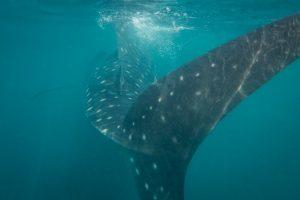 whale-shark-oman-2016-tp
