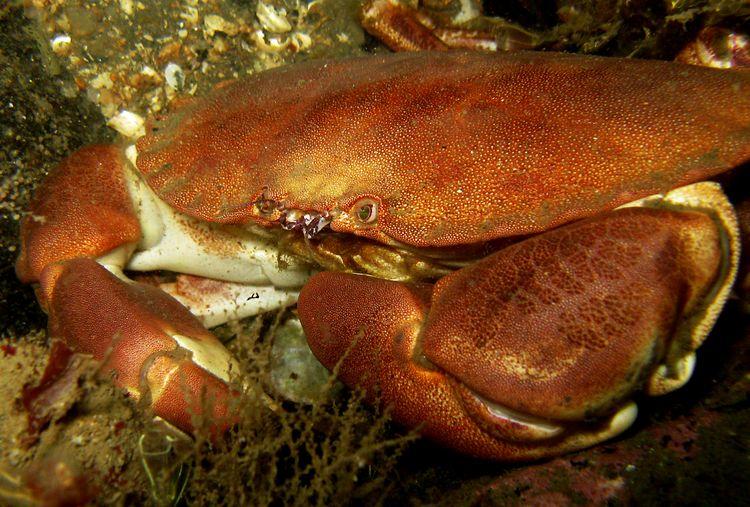 edible_crab.jpg