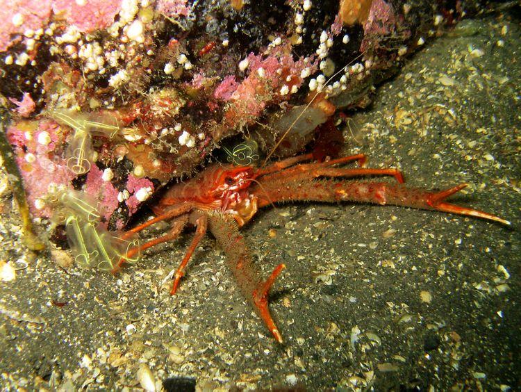 squat_lobster.jpg